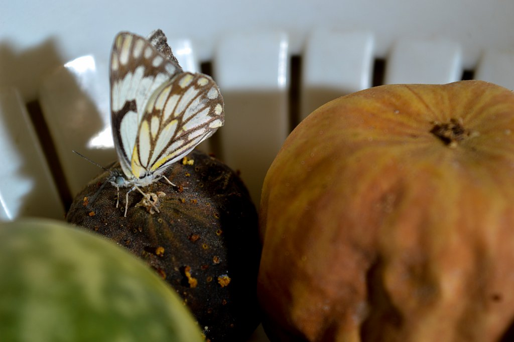 The Butterfly and the deadly watermelon